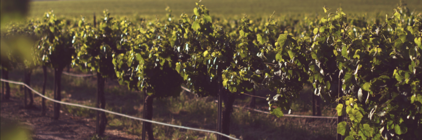 Placement alternatif : vignes et groupements viticoles